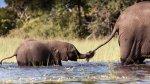 image du programme L'éléphanteau qui voulait être adopté