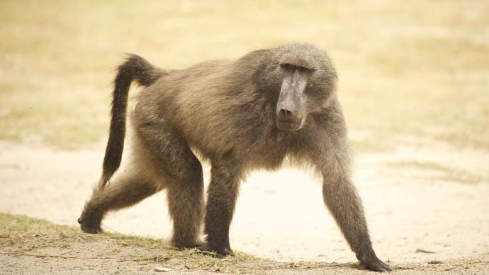 Image du programme Les babouins du Cap