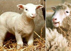 Le clonage thérapeutique inspiré par Dolly n'était-il qu'un rêve ?