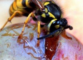 Allergies aux guèpes et abeilles