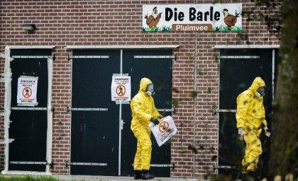 Pays-Bas: nouvel abattage préventif pour cause de grippe aviaire