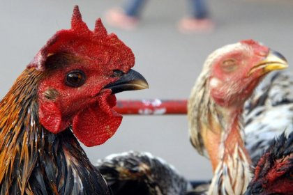 Grippe aviaire: premier mort de l'année au Cambodge