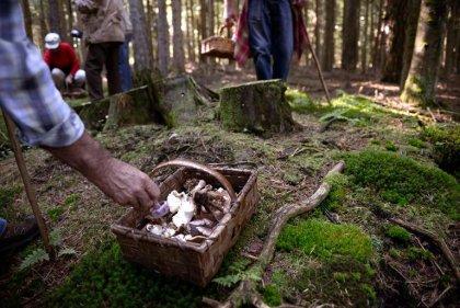 Saison pluvieuse, intoxications par champignons plus nombreuses