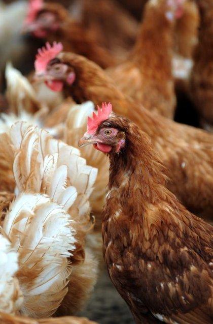 Pays-Bas: un cas de grippe aviaire