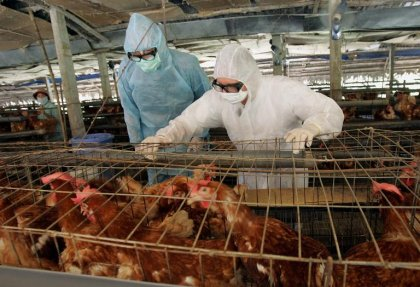 Nigeria: cas de grippe aviaire à Lagos et Port Harcourt