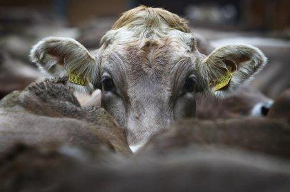 Un cas de vache folle