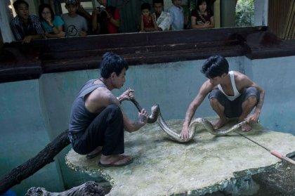 De la vipère de Russell au cobra, les tueurs silencieux de Birmanie