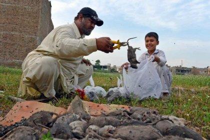 Pakistan: à Peshawar, la guerre urbaine contre les rats