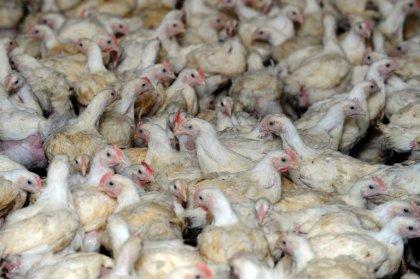 Un cas de grippe aviaire