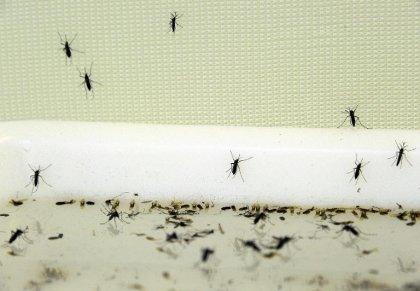 Guadeloupe: renforcement de l'épidémie de chikungunya