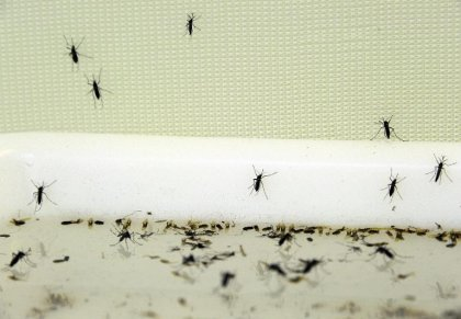Quatre cas autochtones de chikungunya à Montpellier