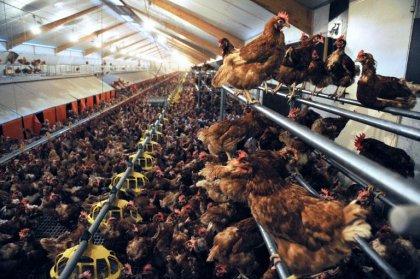 Japon: 112.000 volailles abattues après une alerte à la grippe aviaire