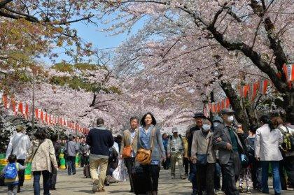 Japon: beauté des cerisiers en fleurs, douleur du rhume des foins