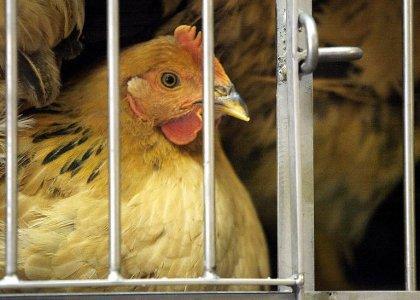 Grippe aviaire: les autorités de Hong Kong abattent 19.000 volailles