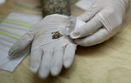 Le Chili, premier pays d'Amérique latine à cultiver le cannabis à fin thérapeutique
