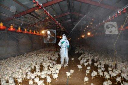 Japon: nouveau foyer de grippe aviaire, 37.000 poulets abattus