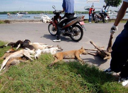 Bali: l'abattage de chiens pour lutter contre la rage fait scandale