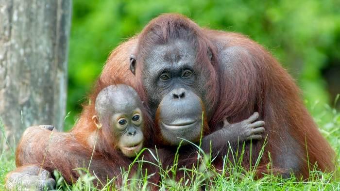 Bienvenue chez les orangs-outans