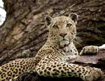 La reine des léopards
