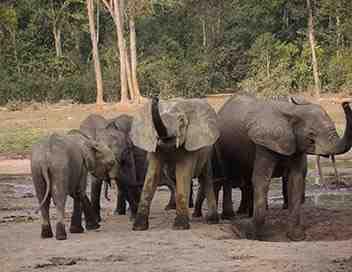 L' éléphant de forêt après l'éden