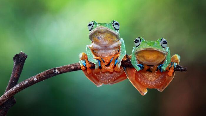 La fête de la grenouille