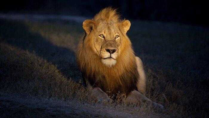 La nuit du lion