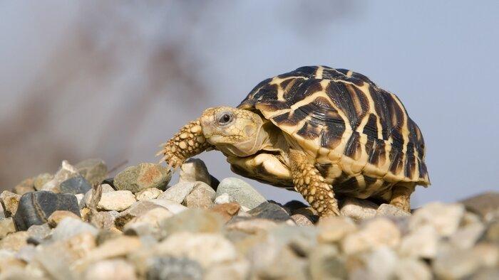 Le trafic des tortues
