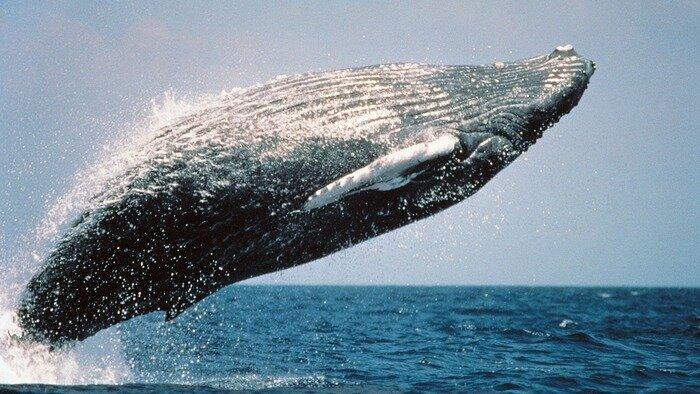 Ma baleine à bosse