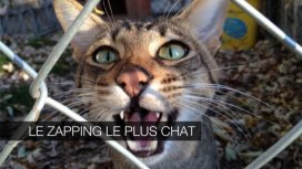 image de la recommandation Le zapping le plus chat