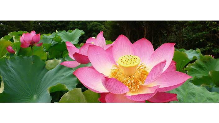 003. Le lotus, de la spiritualité à