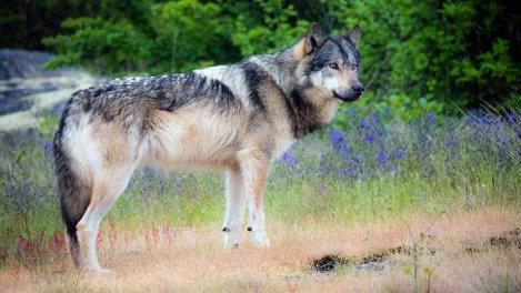 Takaya, le loup solitaire