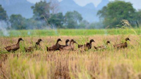 Thaïlande, à l'école des canards