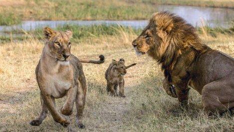 Les lions du Botswana