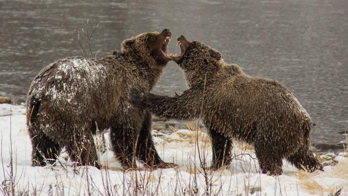 Les grizzlis du Yukon