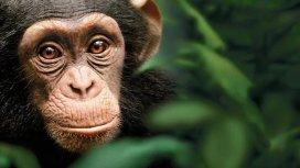 image du programme Chimpanzés - Les artisans du Bossou