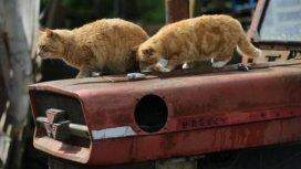 image du programme Chats des villes et chats des champs