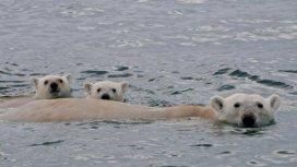 image du programme Ours des glaces