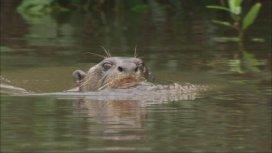 image du programme Les loutres géantes du fleuve Amazone