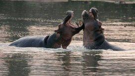 image du programme L'Afrique des hippopotames