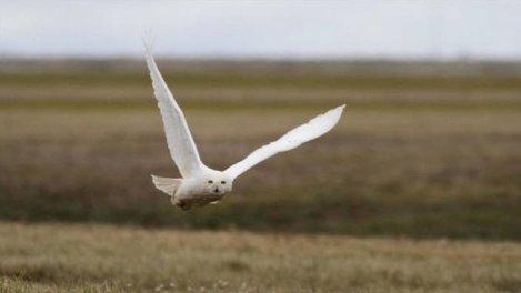 Les ailes blanches de l'Arctique