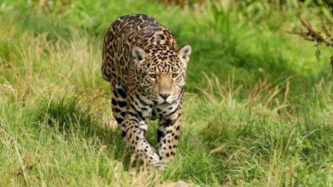 Jaguars en danger