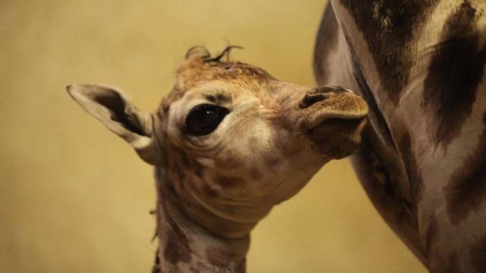 Les premiers pas du girafon