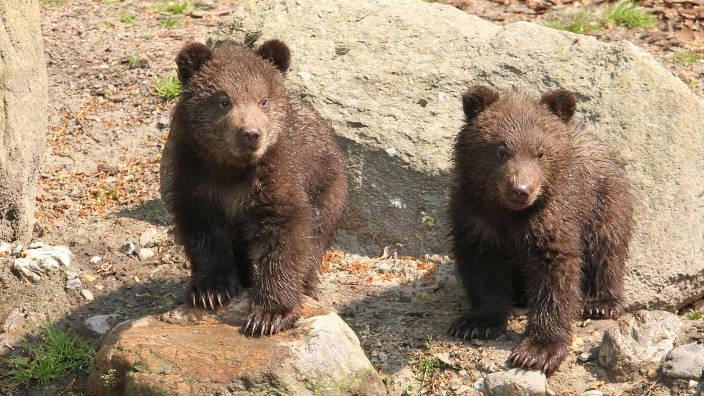 Les oursons se jettent à l'eau