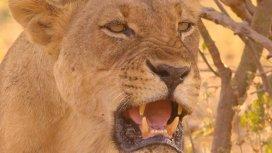 image du programme Prédateurs d'Afrique : Les rois de la troupe Nsefu