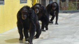 image de la recommandation Chimpanzé made in USA