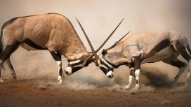 image de la recommandation Animal Fight Club