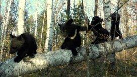 image du programme Les oursons orphelins de Sibérie