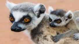 image du programme Le lémurien après l'eden