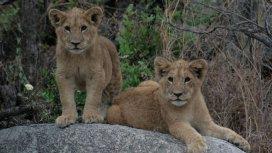 image du programme Devenir lion