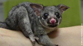 image du programme La guerre des opossums